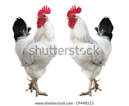 white cock portrait; rooster isolated