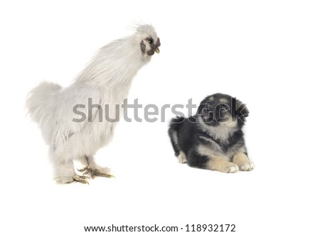 white cock with a dog