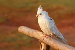 White cockatiel parrot perched on a log. The cockatiel (Nymphicus hollandicus), also known as weiro bird, or quarrion, is a small parrot that is a member of its own branch of the cockatoo family