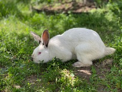 White coliform rabbit on green grass on a sunny day