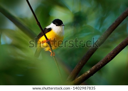 White-collared Manakin, Manacus candei, blyck white yellow tropic bird, Costa Rica, Central America. Forest bird, wildlife scene from nature. Birdwatching in Costa Rica. Bird sitting in in tree.