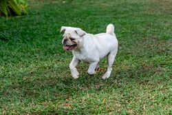 White color Pug dog running and playing in the grass