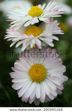 White common daisy with  yellow stamens  and green leaves,  spring daisy in the garden, flower head macro, beauty in nature, floral photo, macro photography, stock image Stock photo ©