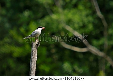 White common tern, Sterna hirundo, with red beak and legs and black head, sitting on wooden stake opening beak and shouting, daylight, blurry green  - Shutterstock ID 1104318077