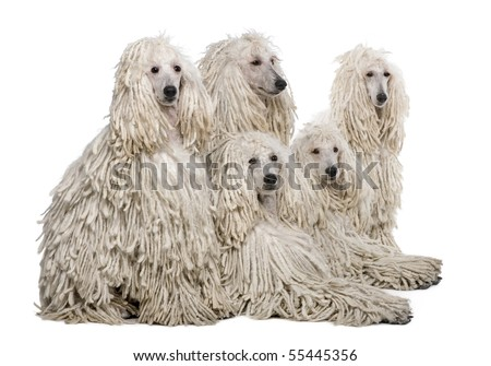 White Corded standard Poodle against white background