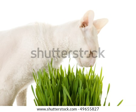 White  cornish-rex and germinating oat