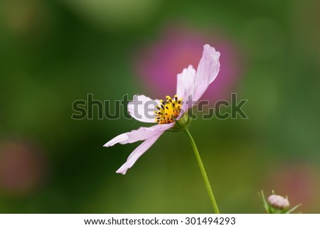 White cosmea flower in close in summer home garden on the green background