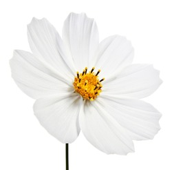 white cosmea flower - isolated on white