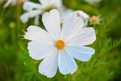 White Cosmea. White flower. White garden flower. Macro photography of a flower in a summer garden close-up.