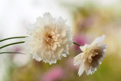 White cosmos bipinnatus 'double click snow puff', beautiful flower with boasting fluffy petal in macro