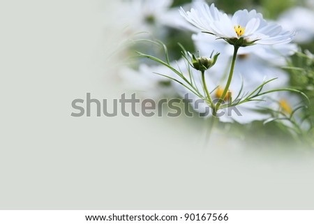 White Cosmos Flower Background