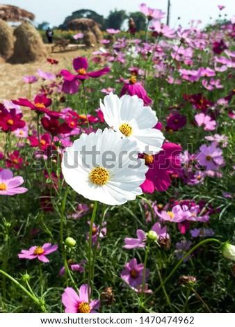 White cosmos flower,cosmos flowers,cosmos flower field flowers,flowerfarm