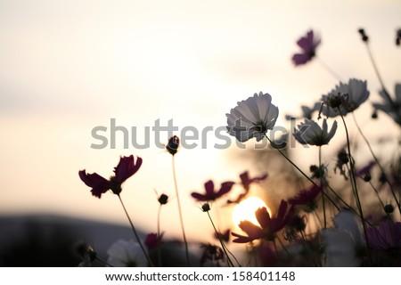 white cosmos flower in sunrise