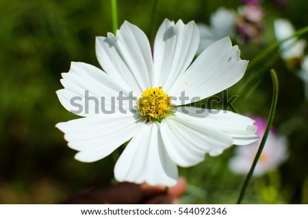 White cosmos flowers ez canvas white cosmos flowers mightylinksfo