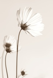 White cosmos flowers in sepia tone, vintage style..