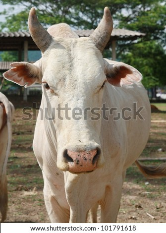 white cow face