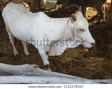 White cow is a mammal #1122178367
