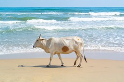 white cow on a beach, Mahabalipuram, Tamil Nadu, South India
