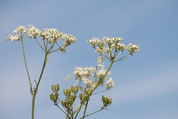 White Cow Parsley, Anthriscus sylvestris also called Wild Chervil, wild Beaked Parsley or Keck, flowering in the British countryside, side view on a blue sky background
