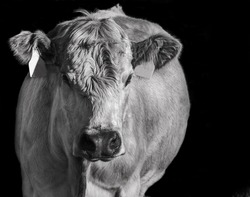 White cow with black background