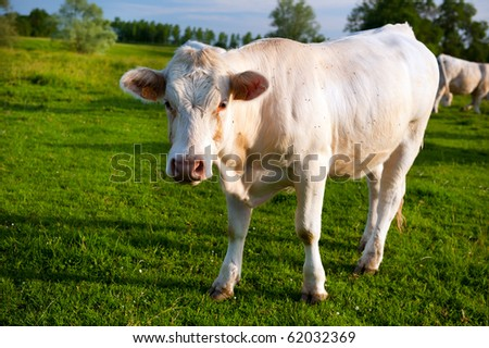 White cows in French pastures at the Bourgogne landscape