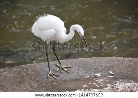 White Crane Bird Pics. Useful for commercial purpose