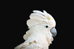 white - crested cockatoo isolated on black background