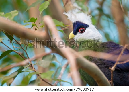 White-crested Turaco (Tauraco leucocolophus) in trees