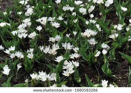 White Crocus biflorus Miss Vain bloom in a garden in March Stock photo ©