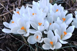 White crocus Jeanne d'Arc bloom in a garden in March