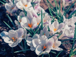 White crocuses growing on the ground in early spring. First spring flowers blooming in garden. Spring meadow full of white crocuses, Bunch of crocuses. White crocus blossom close up. Early spring