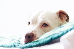 White crossed American pitbull head on bed