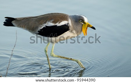 White Crowned Lapwing (Vanellus albiceps) in South Africa - stock photo