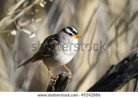White-crowned Sparrow, close-up portrait