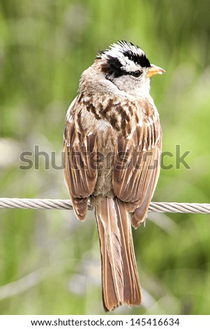 White Crowned Sparrow in Tucson Arizona