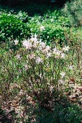 White Cunningham Rhododendron (Rhododendron caucasicum x Rhododendron ponticum var.Album) in the garden, flower card on a bright sunny day