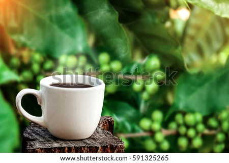 white cup of coffee or tea on wooden plate over blurred plantation of coffee tree with sun lighting. #591325265