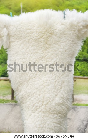 White curled sheep fur texture as background