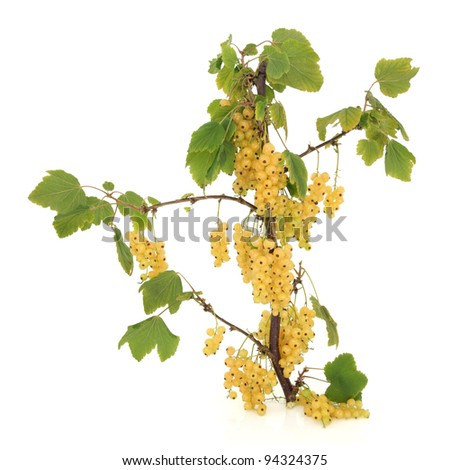 White currant fruit branch isolated over white background. #94324375
