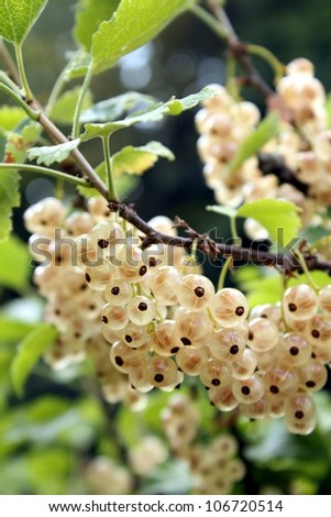 white currant plants