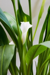 White cute calla lily surrounded by green leaves