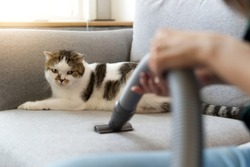 White cute cat sitting on sofa is looking at vacuum cleaner of her owner while she is cleaning the sofa due to cat hair dropped on the sofa. Happy cleaning and cute cat concept.