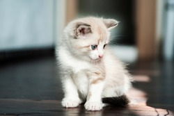 White cute kitten sadly looks at a toy.