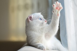 White cute kitten waves her paw