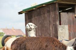 white cute lama hiding behind brown lama