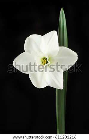 White daffodil flower and leaf isolated against a black background white daffodil flower and leaf isolated against a black background mightylinksfo