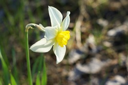 White daffodil with yellow trumpet. White daffodil on the green background. Selective focus.White blossoming narcissus.