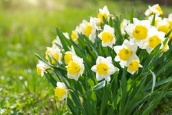 White daffodils in a flower garden in spring. Selective focus.