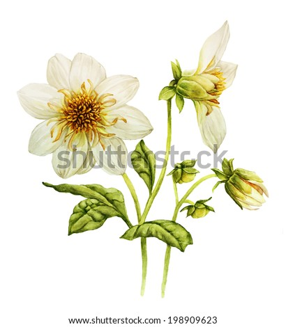 White dahlia flower watercolor illustration