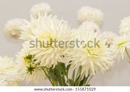 white dahlia flowers - stock photo